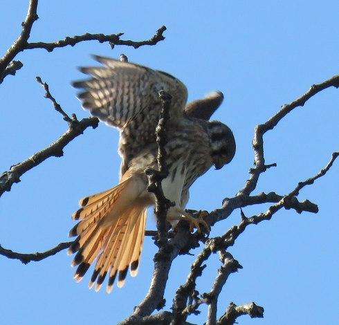 Female American Kestrel, a type of falcon (November, 2016)