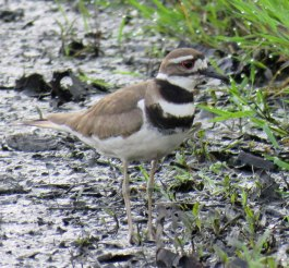 Killdeer can be seen on the muddy soccer field or other spots with shallow water. (May, 2016)