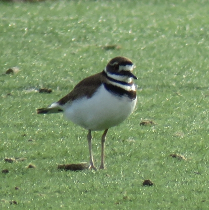 killdeer17-02-26_9403