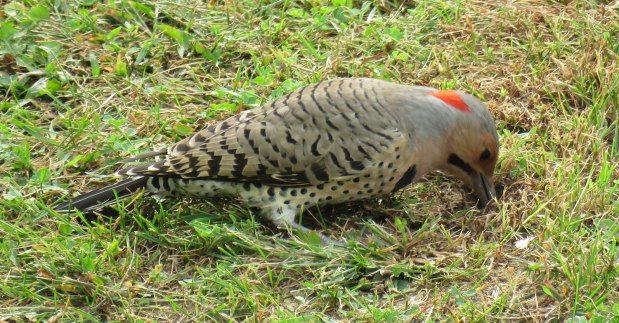 Northern Flickers usually visit for a few weeks during early fall. (September, 2016)