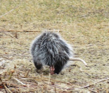 opossumtail17-01-18_7648