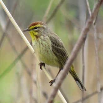 Palm Warbler (April, 2016)