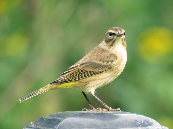 Palm Warbler (September, 2016)