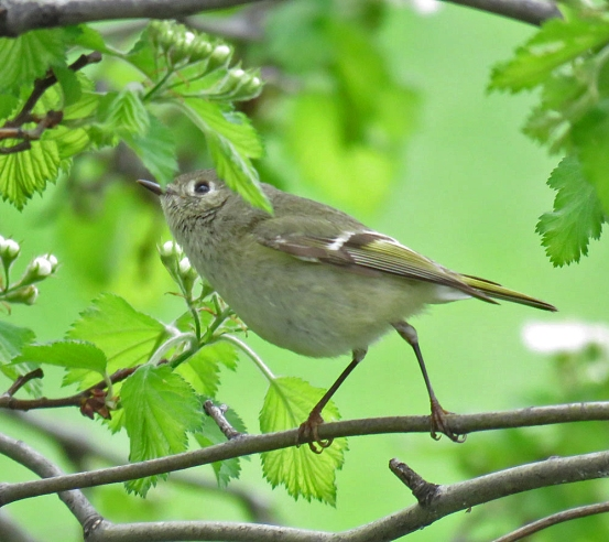 Ruby-crowned Kinglet (April, 2016)