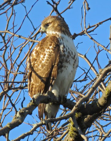 Young Red-tailed Hawk (November, 2016)