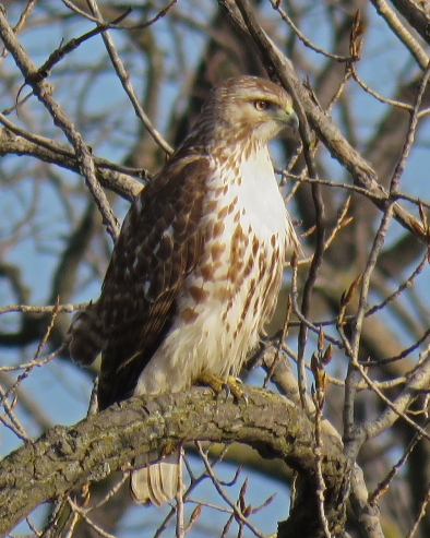 red-tailedhawk17-02-23_9217