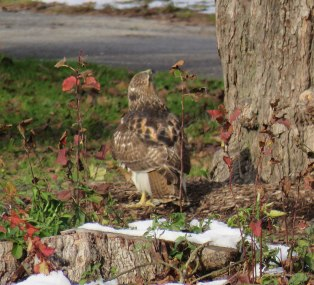 Young Red-tailed Hawk hunting squirrels in the sanctuary. (December, 2016)