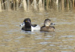 Ring-necked Ducks are also diving ducks. The male (whose faint neck ring is not visible) is on the left, female on the right. (March, 2016)