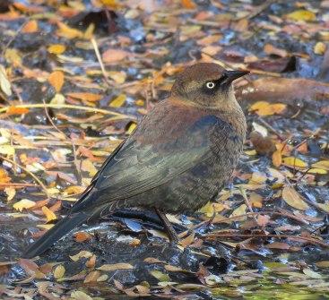Rusty Blackbirds nest in bogs as far north as Canada. (October, 2016)
