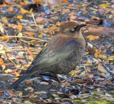 Rusty Blackbirds nest in bogs as far north as Canada. (October, 2016)