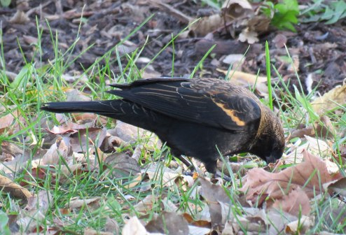 This young male Red-winged Blackbird was hatched and raised in a marshy area farther to the north. (November, 2016)