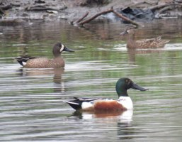 These ducks are dabblers, not divers, finding food near the water's surface. The male Northern Shoveler, in front. has a specially adapted bill for sifting small animals from the water. Blue-winged Teal, in the back, eat both small animals and seeds. The male is on the left, the female on the right. (April, 20016)