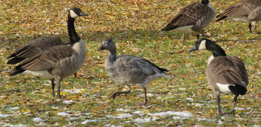 Young dark-morph Snow Goose (in the middle) being harassed by Canada Geese. (December, 2016)