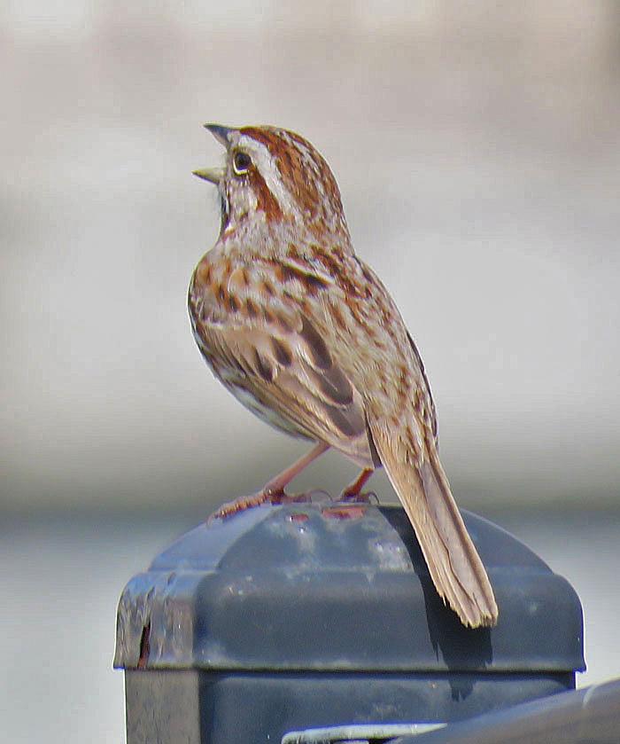 Song Sparrow (April, 2016)