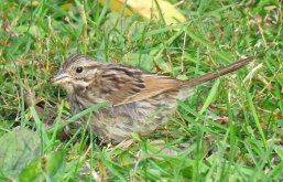 Song Sparrow foraging on the lawn north of the lagoon. (October, 2016)