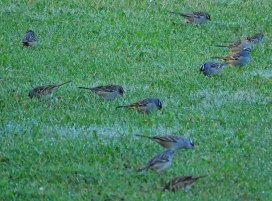 Flock of mostly White-crowned Sparrows searching for seeds on the golf course. (October, 2016).