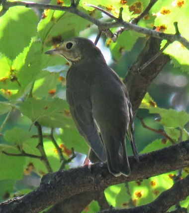 Swainson's Thrushes arrive a little earlier (September, 2016)
