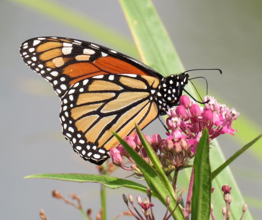 swampmw-monarch16-07-31_7910