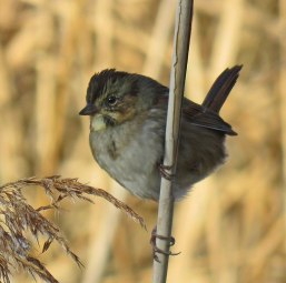 Swamp Sparrow in the reeds around the sanctuary lagoon (November, 2016)