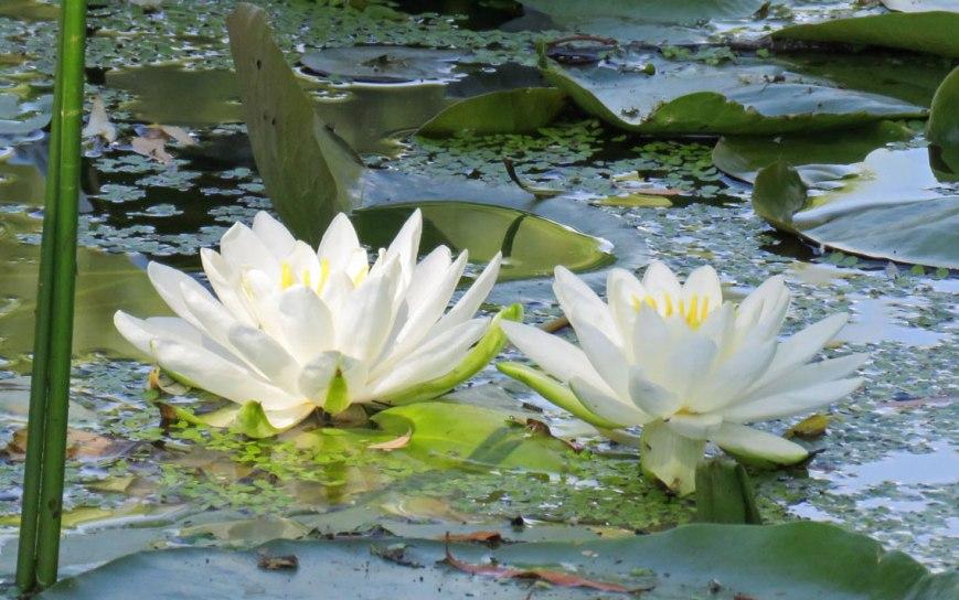 waterlilyfin-16-06-18_5027