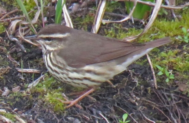 Northern Waterthrush, a type of warbler (April, 2016)