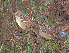 Young White-crowned Sparrows eating wildflower seeds in the sanctuary. (October, 2016)