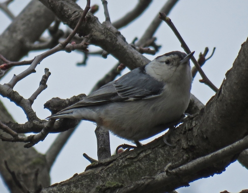 white-brnuthatch17-02-26_9426