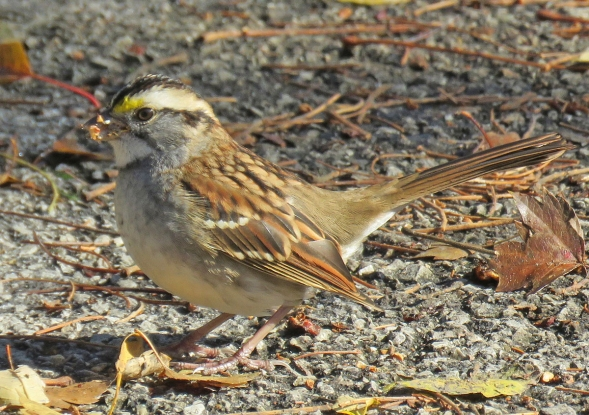White-throated Sparrow foraging on a path near the Lily Pond. (November, 2016)