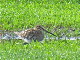 Wilson's Snipe, a type of shorebird sometimes seen on the soccer field mud (May, 2016)