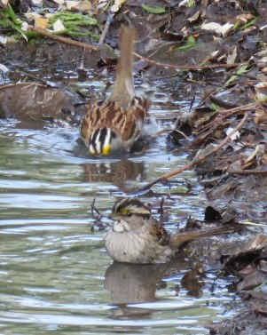 White-throated Sparrows taking a bath (May, 2016)