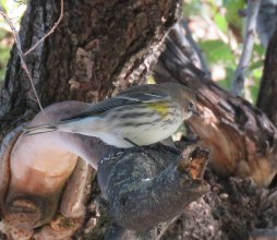 Yellow-rumped Warbler (October, 2016)