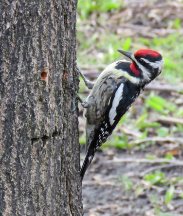 Yellow-bellied Sapsuckers punch holes through tree bark and then return later to lap up both the sweet sap and any bugs attracted to it. (April, 2016)