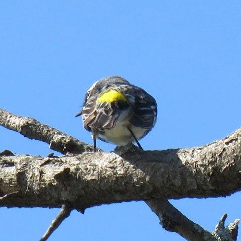 Yellow-rumped Warbler (April, 2016)
