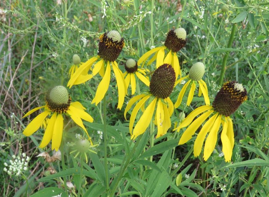 yelconeflower16-07-23_6760