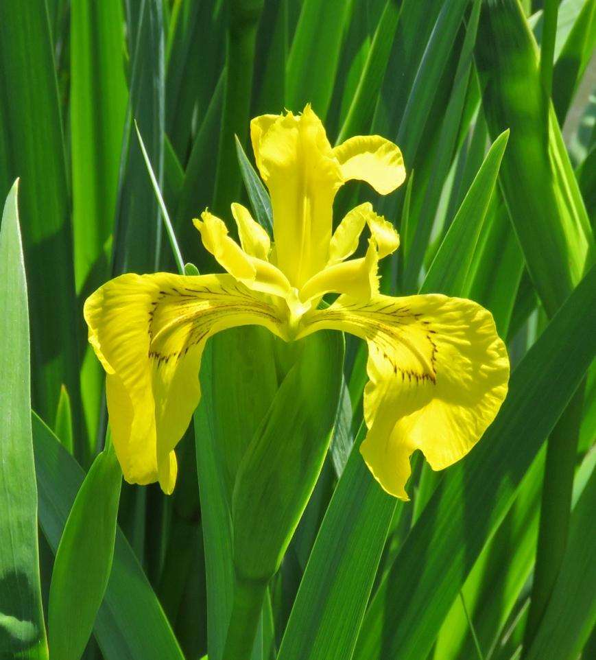 yellowiris16-05-22_3396