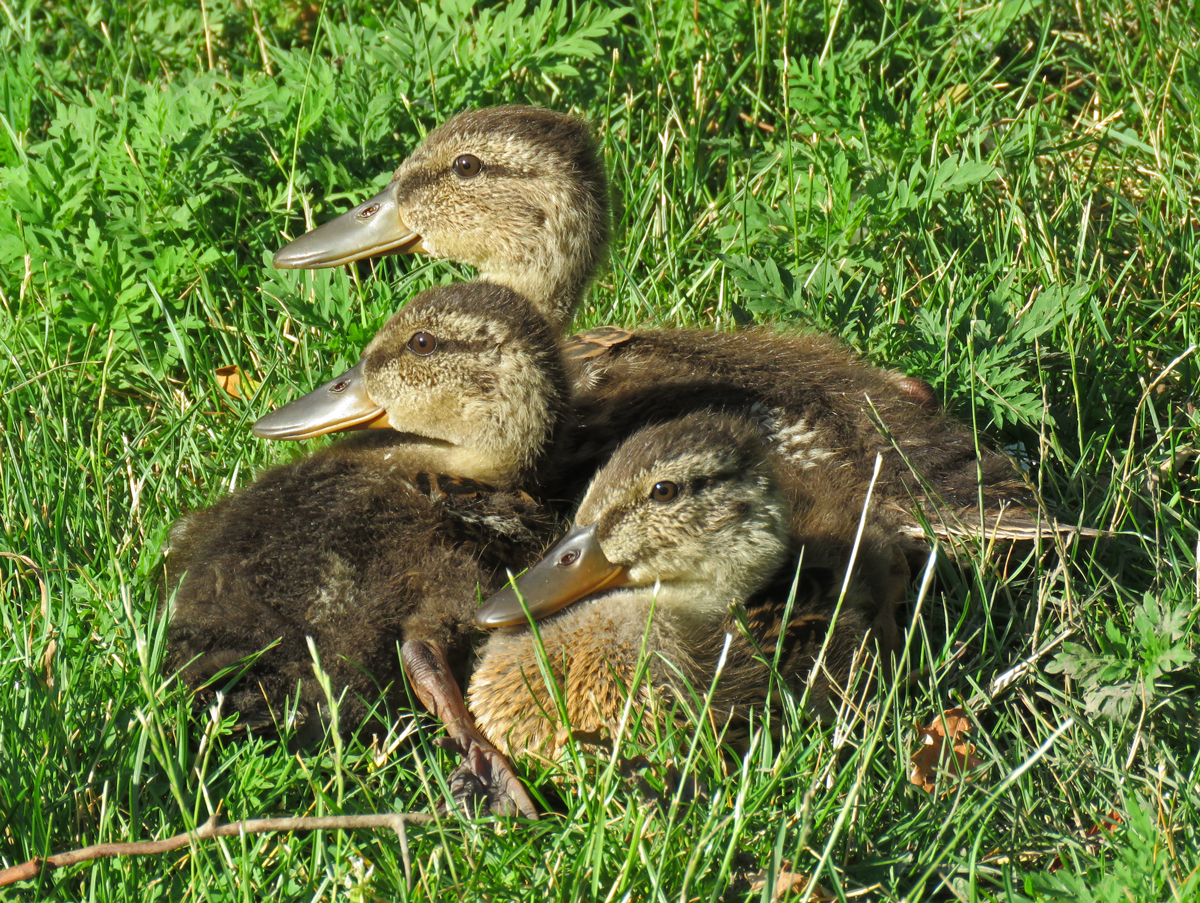 01A-MotherlessMallards17-07-18_2459
