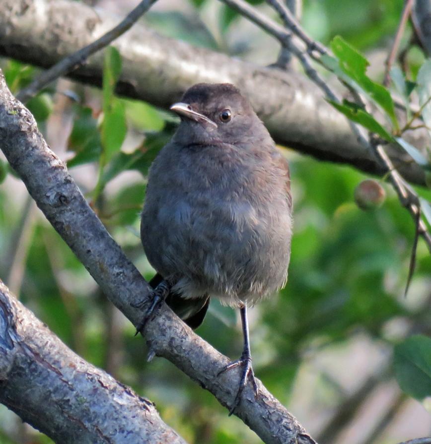 07A-GCatbird-Juv17-07-29_3682