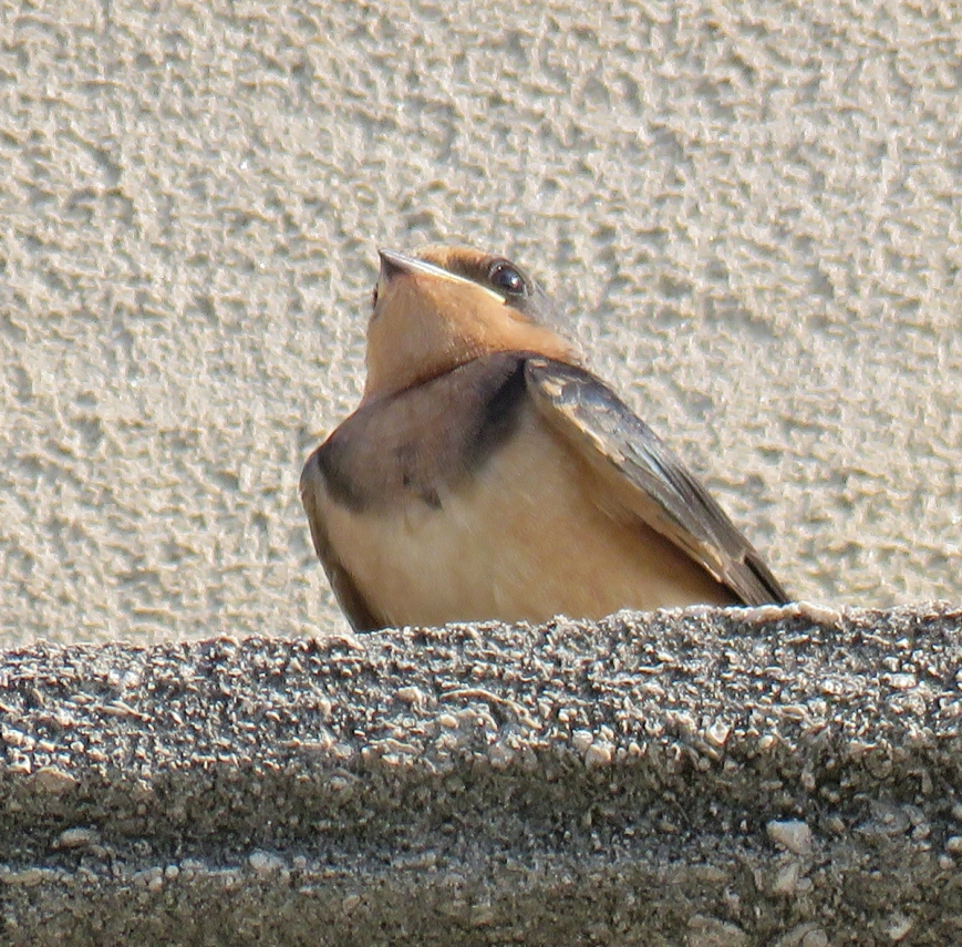 07B-BarnSwallowFledgling17-07-03_1064