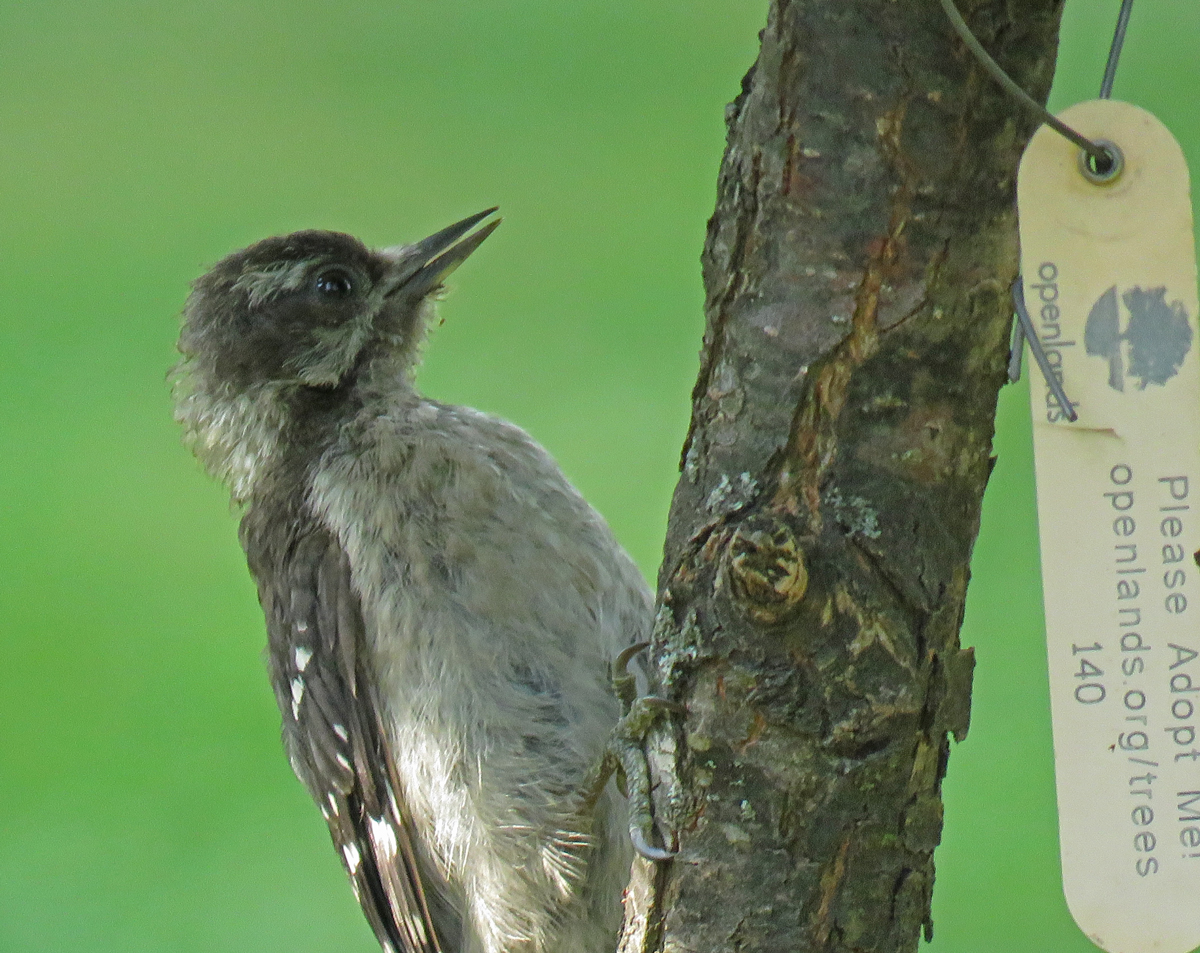 07D-DownyWpFledgling17-07-11_1701