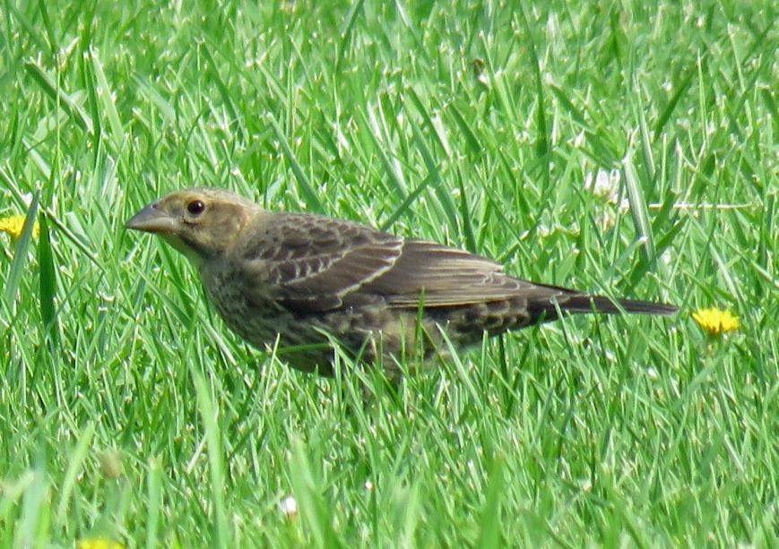 08B-Br-headedCowbirdJuv17-08-02_4305