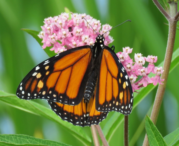 Monarch on Swamp Milkweed (June 26, 2017)