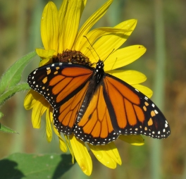 Monarch on Common Sunflower (September 3, 2017)
