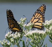 Monarchs on Tall Boneset (September 3, 2017)
