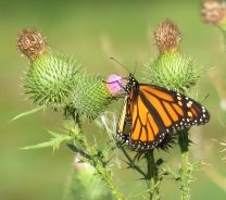 Monarch on thistle (September 3, 2017)