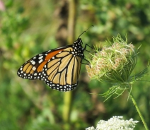 Monarch on Queen Anne's Lace (September 3, 2017)