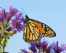 Monarch on New England Aster (September 20, 2017)