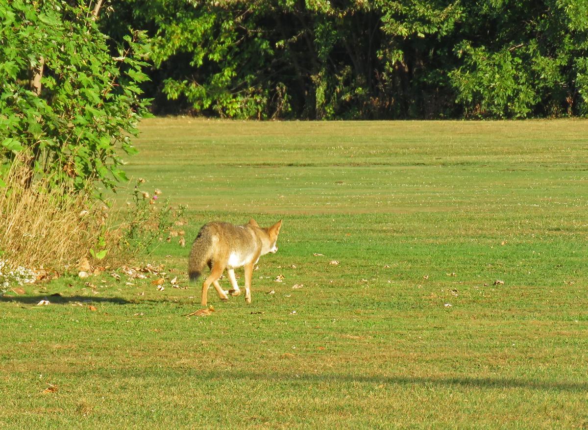 Coyote0-17-09-28_8273