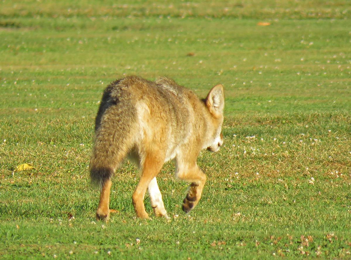 Coyote1-17-09-28_8275