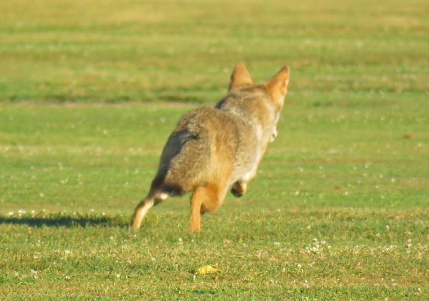 Coyote2-17-09-28_8276