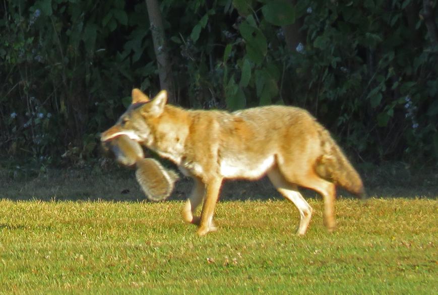 Coyote3-17-09-28_8277